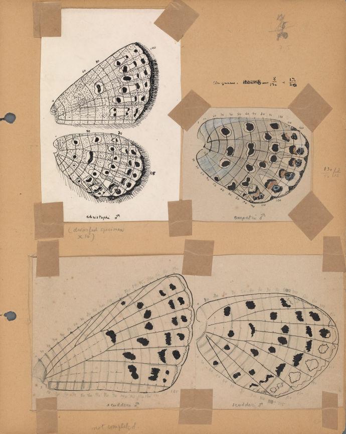 Владимир Набоков высказал гипотезу, что сравнение образцов крыльев бабочек может быть ключом к разгадке их эволюции / рисунок В. Набокова