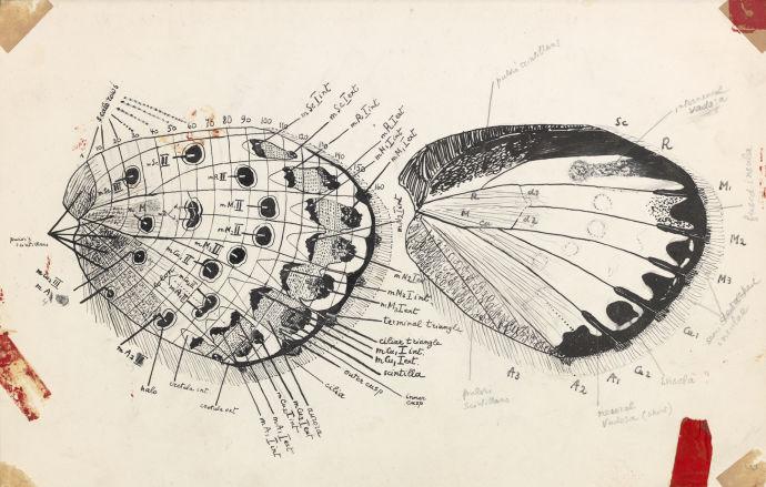 Подробная схема крыла бабочки / рисунок В. Набокова
