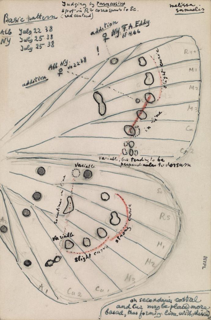 Рисунок крыла голубой Карнер, вида бабочки которую открыл и назвал в 1944 году Владимир Набоков / рисунок В. Набокова